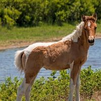 Chincoteague Pony Auction Online 2020 live